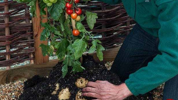 گیاهی که همزمان دو میوه متفاوت می دهد + عکس