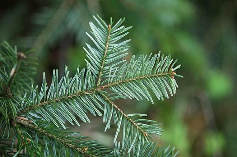 درمان سرطان با عصاره درخت