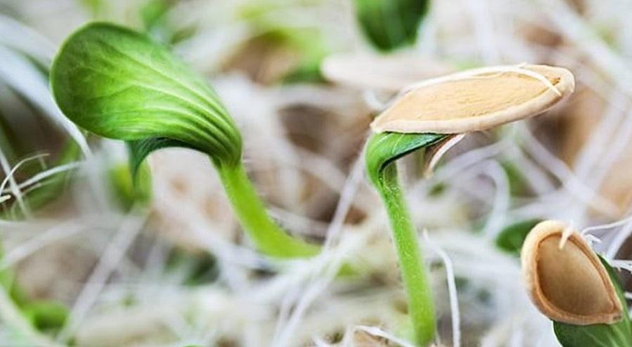 آموزش کاشت سبزه عید با تخمه کدو