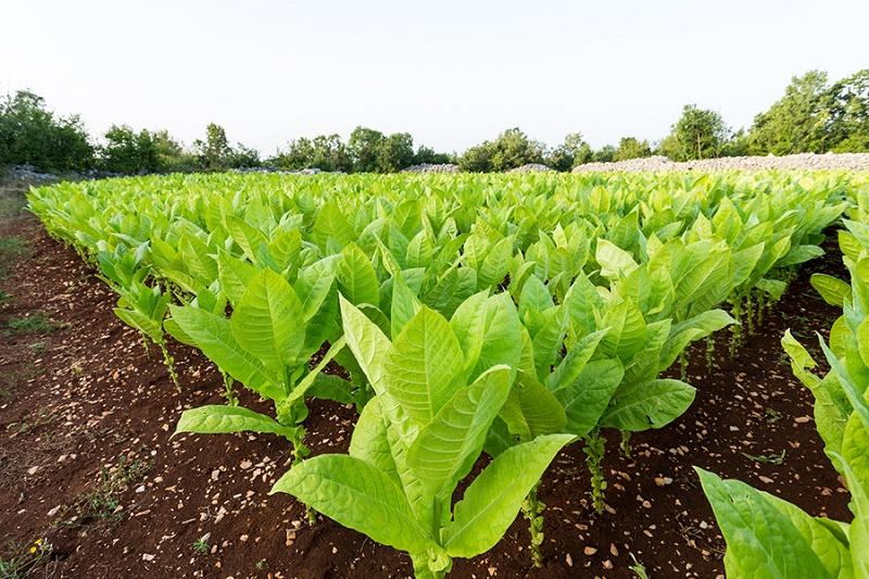 تاثیرات فوق العاده گیاه تنباکو در درمان چند بیماری رایج