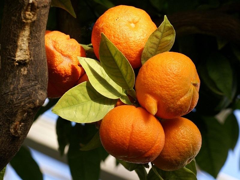 این میوه در درمان خوراکی مفید است