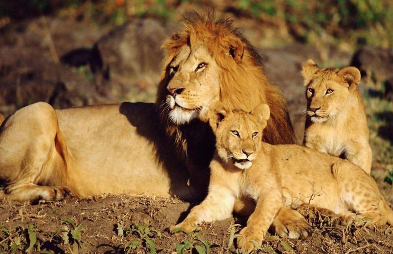 شیر ایرانی پس از ۸۰ سال به ایران بازگشت
