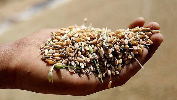 برنج ارگانیک و گندم تراریخته در کشور نداریم