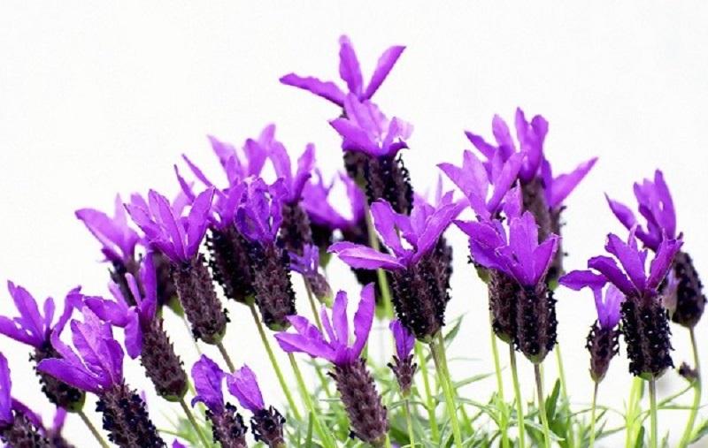 قابل توجه استرسیها؛ بوییدن این گیاه حالتان را خوب میکند