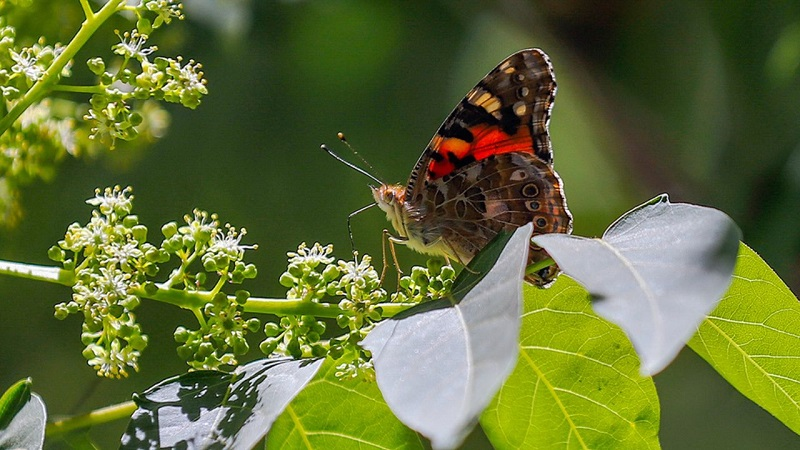 دلیل حضور پروانهها در ایران چیست؟