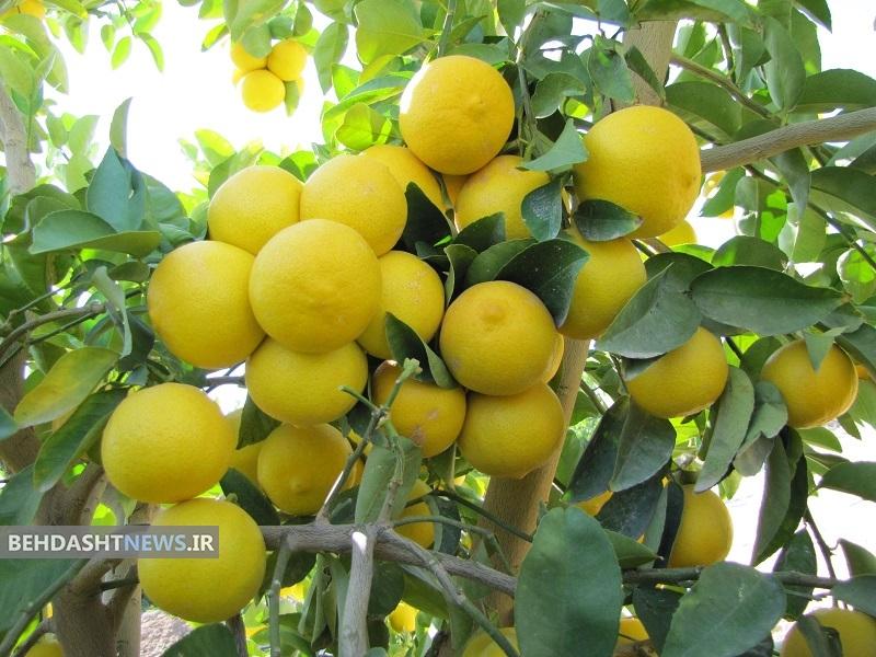 اگر مبتلا به یرقان شدید لیمو شیرین بخورید | بهداشت نیوز