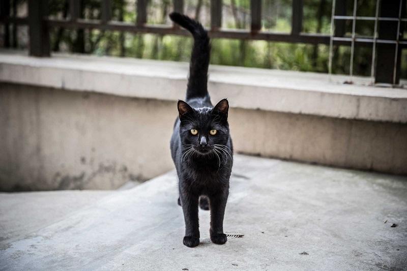 آیا بدشگونی گربه سیاه حقیقت دارد؟