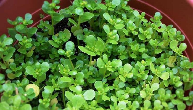 آیا استفاده از گیاه خرفه بی خطر است؟