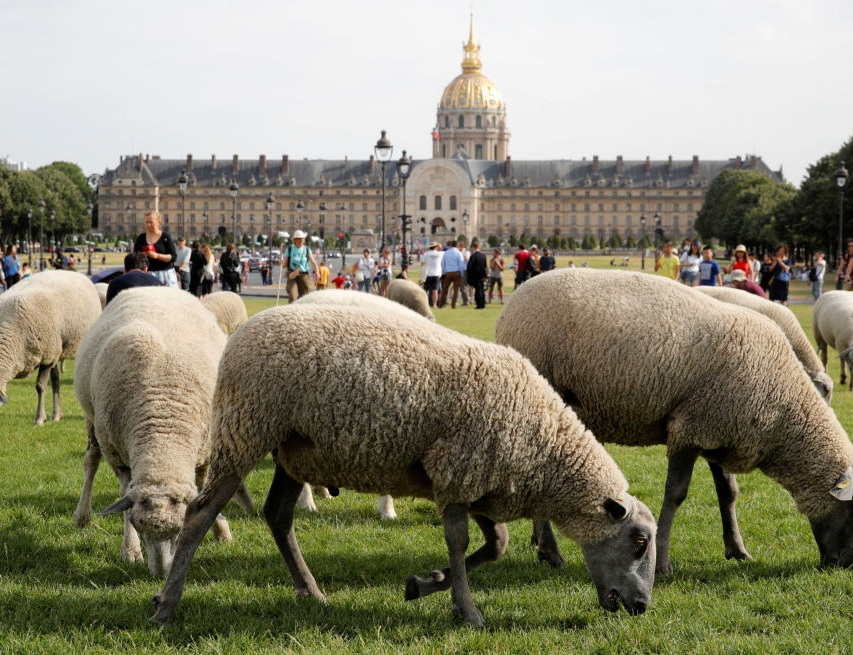 گشت گذار گله گوسفندها در پاریس! + عکس