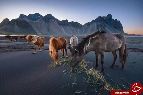 چرای اسبهای وحشی در ایسلند + عکس