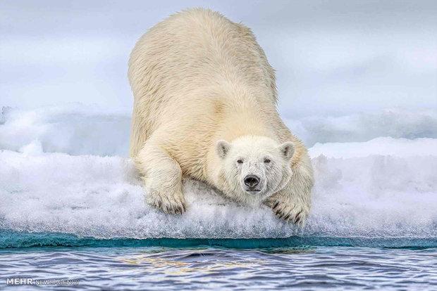 خرس قطبی در اقیانوس منجمد شمالی