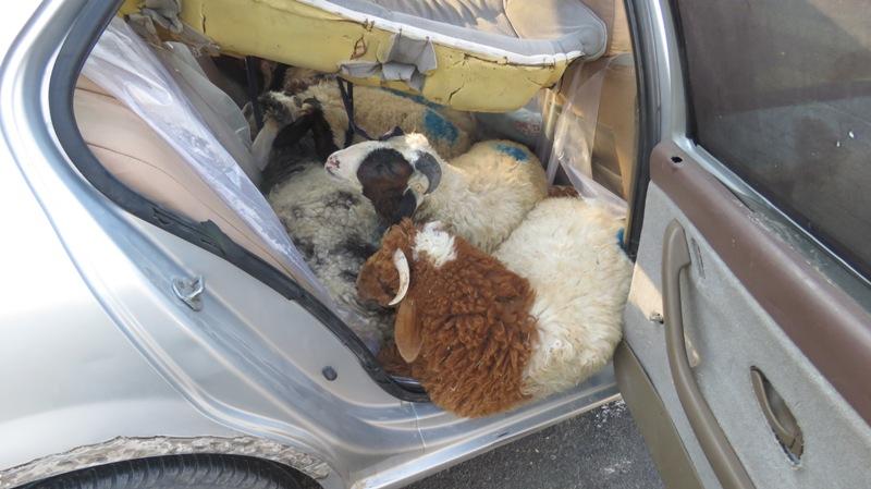 13 گوسفند جاسازی شده داخل یک سمند + عکس