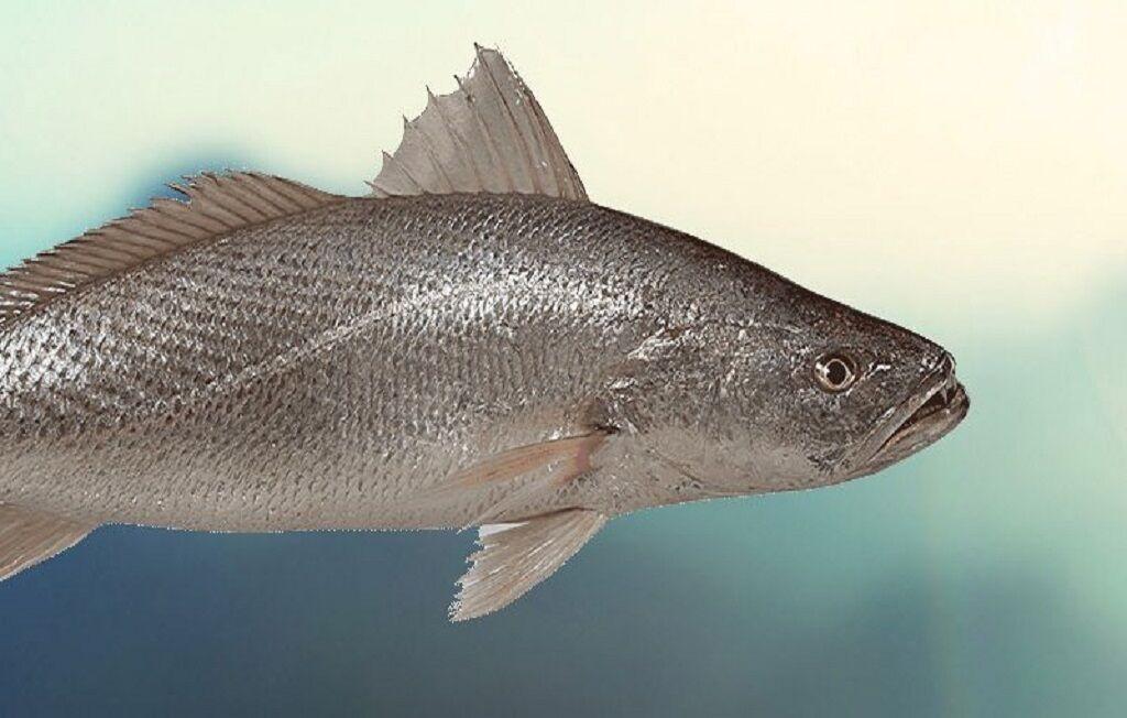اين افراد ماهي شوريده نخورند