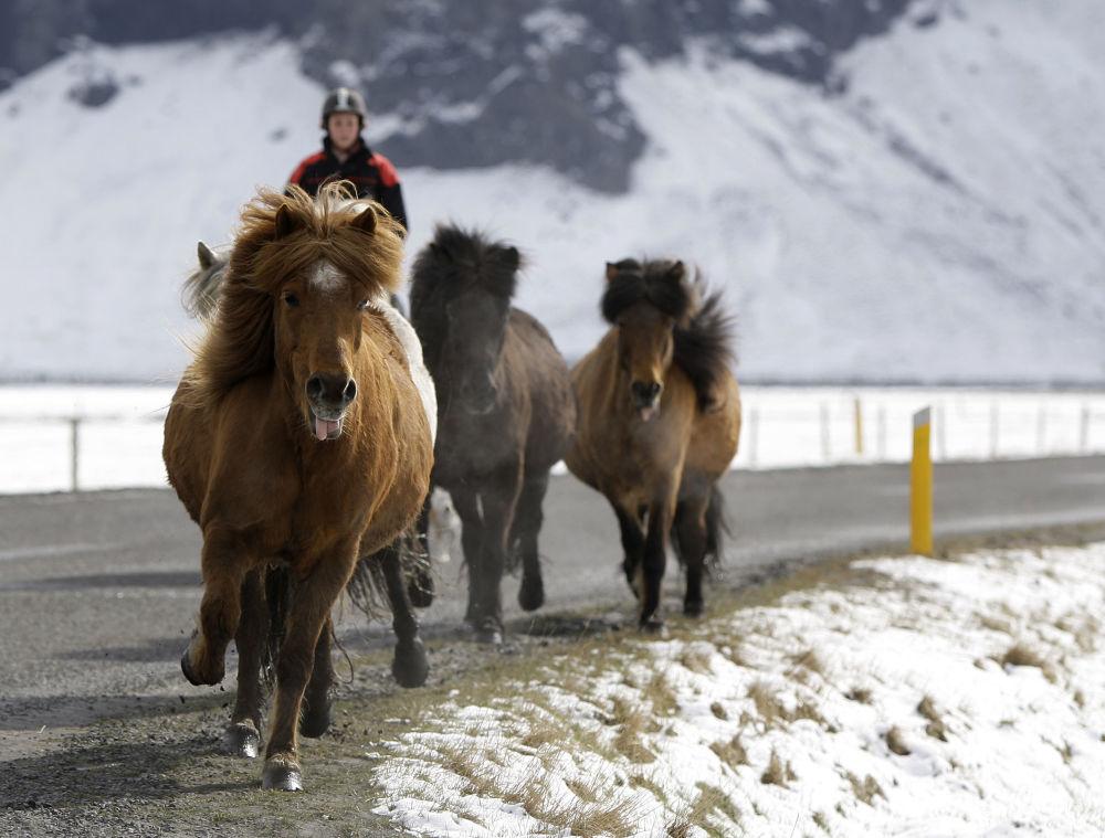 اسب های نجیب ایرلندی +تصاویر