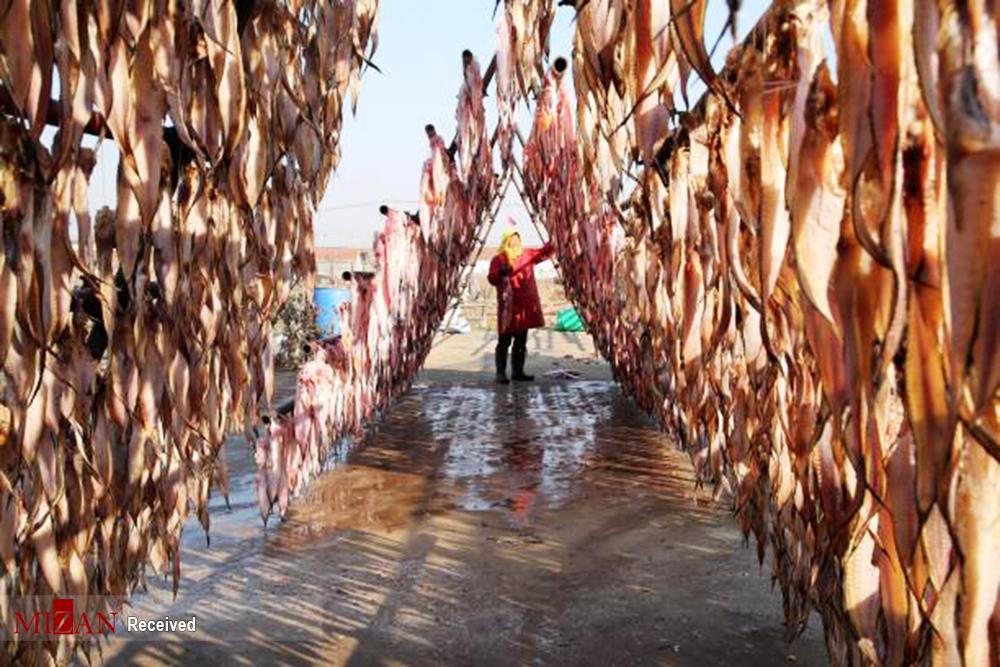 نحوه خشک کردن ماهی در چین + عکس