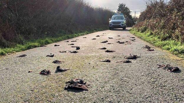 مرگ مشکوک صدها پرنده در ولز + عکس