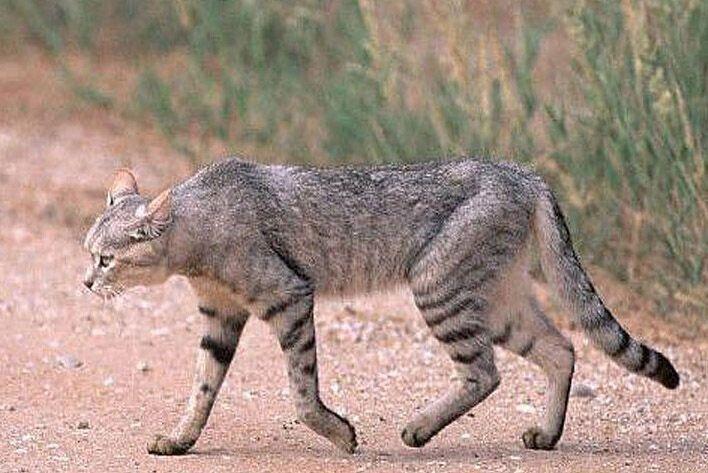 اولین تصویر از گربه وحشی در منطقه حفاظت شده باشگل+عکس