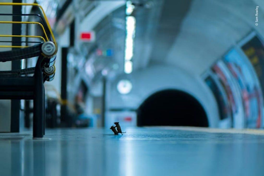 تصویری جالب از درگیری دو موش بر سر تکهای غذا + عکس