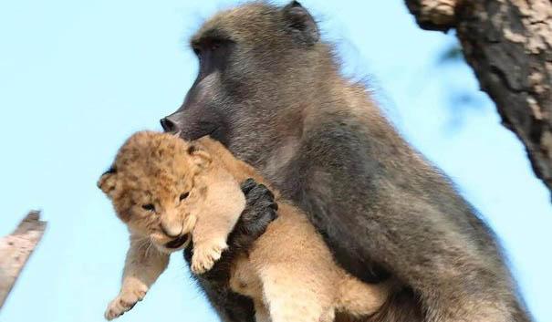لحظات بینظیر نگهداری یک میمون از توله شیر! + تصاویر