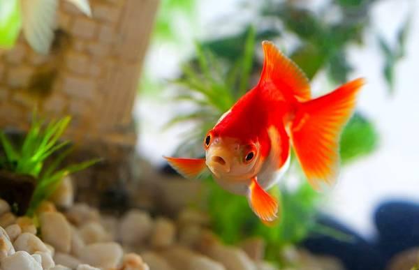 ماهی قرمز سالم چه نشانه هایی دارد؟