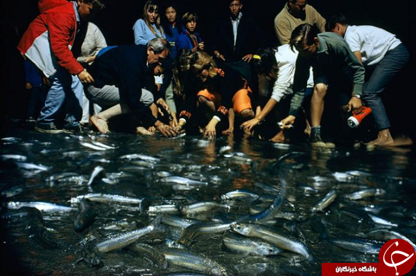 حمله مردم کالیفرنیا برای صید ماهی + عکس