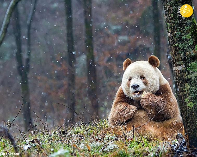تنها خرس پاندای قهوهای در جهان