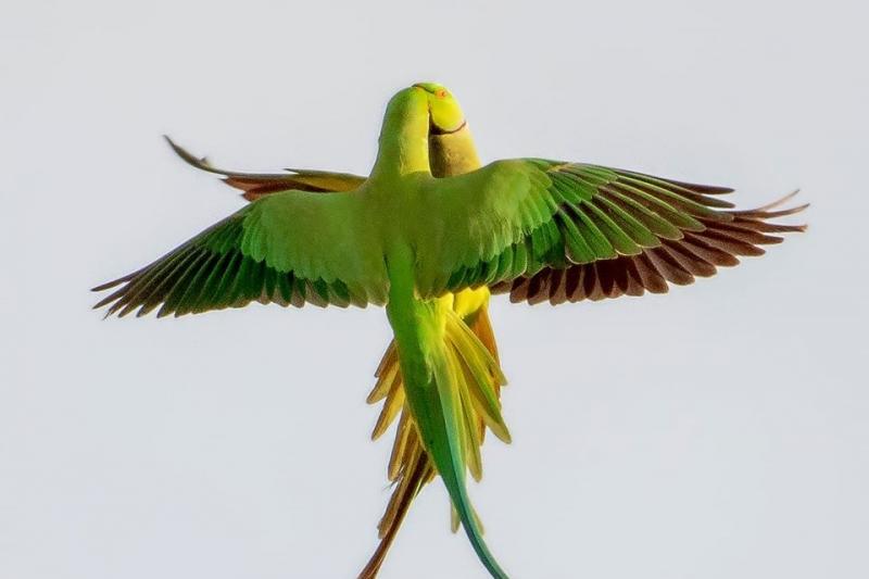 درگیری جالب دو طوطی در هوا+ عکس