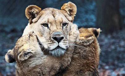 وقتی شیر پدر مراقبت از بچهها را برعهده میگیرد! + عکس