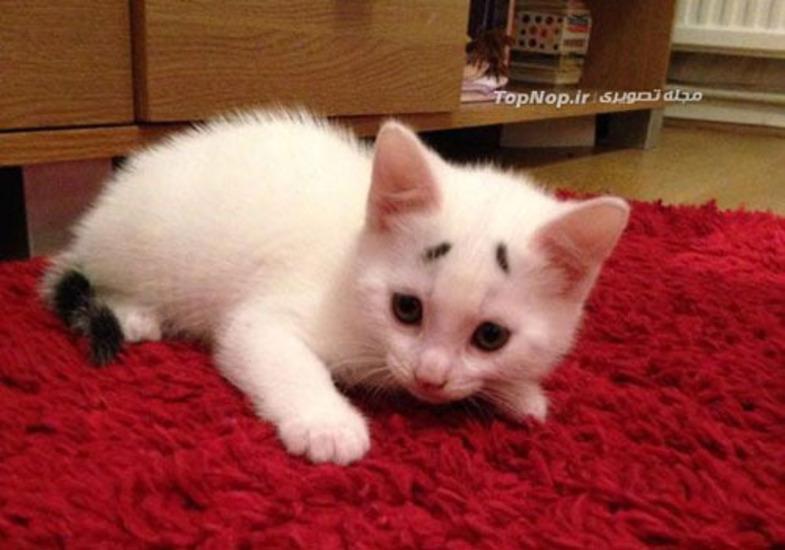 گربهای با ابروهای دیدنی! + عکس