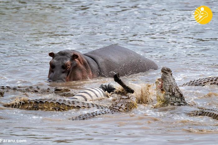 تکه تکه شدن گورخر توسط تمساح + عکس