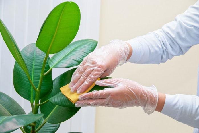 در روزهای کرونایی چگونه گل و گیاه آپارتمانی را تمیز کنیم؟