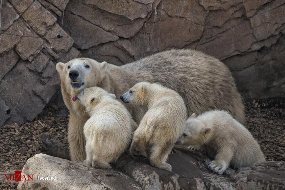 خرسهای قطبی در جنوب فرانسه + عکس