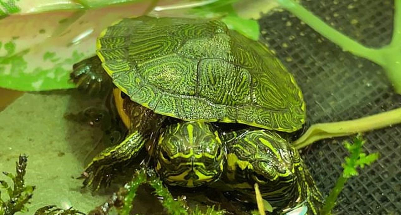 پیداشدن لاکپشت دوسر نادر در ویرجینیا خبرساز شد! + عکس و فیلم