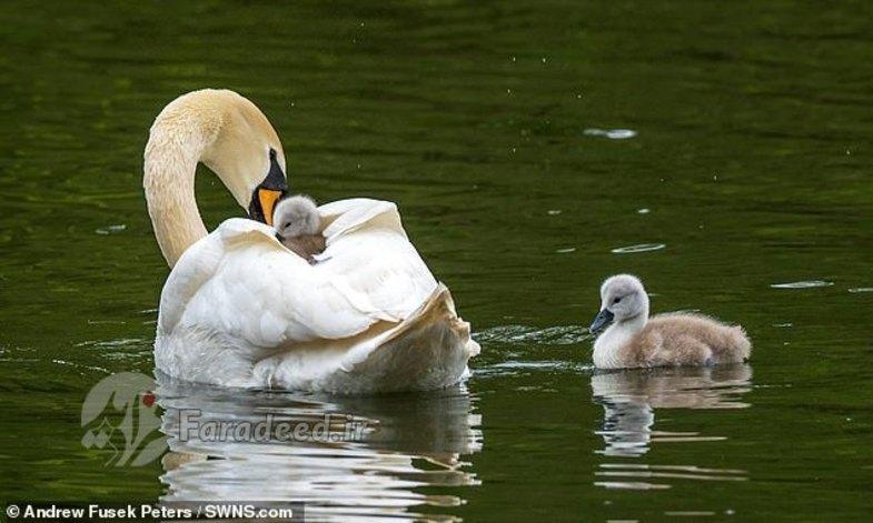 استراحت بچه قو بر روی بالهای مادرش + عکس