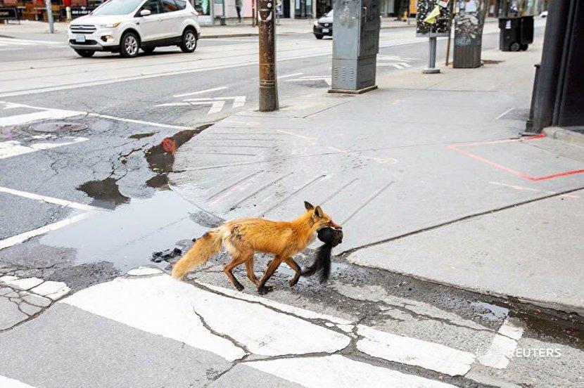 شکار سنجاب توسط روباه در خیابانهای تورنتو + عکس