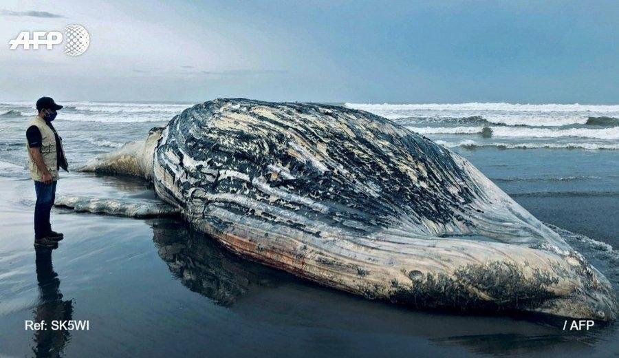لاشه نهنگ ۱۳ متری در جنوب گواتمالا + عکس