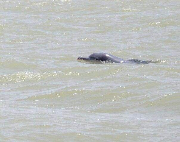 مشاهده سه دلفین گوژپشت بازیگوش در آبهای آبادان + عکس