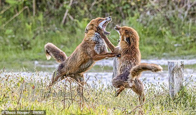 لحظاتی شگفت انگیز از دعوای ناگهانی دو روباه! + عکس