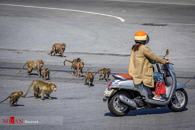 شهر میمونها در تایلند + عکس