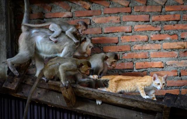 حمله میمونها به یک گربه در تایلند! + عکس