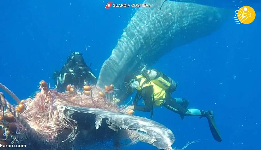 نجات نهنگ عنبر ده متری از تور ماهیگیری + عکس