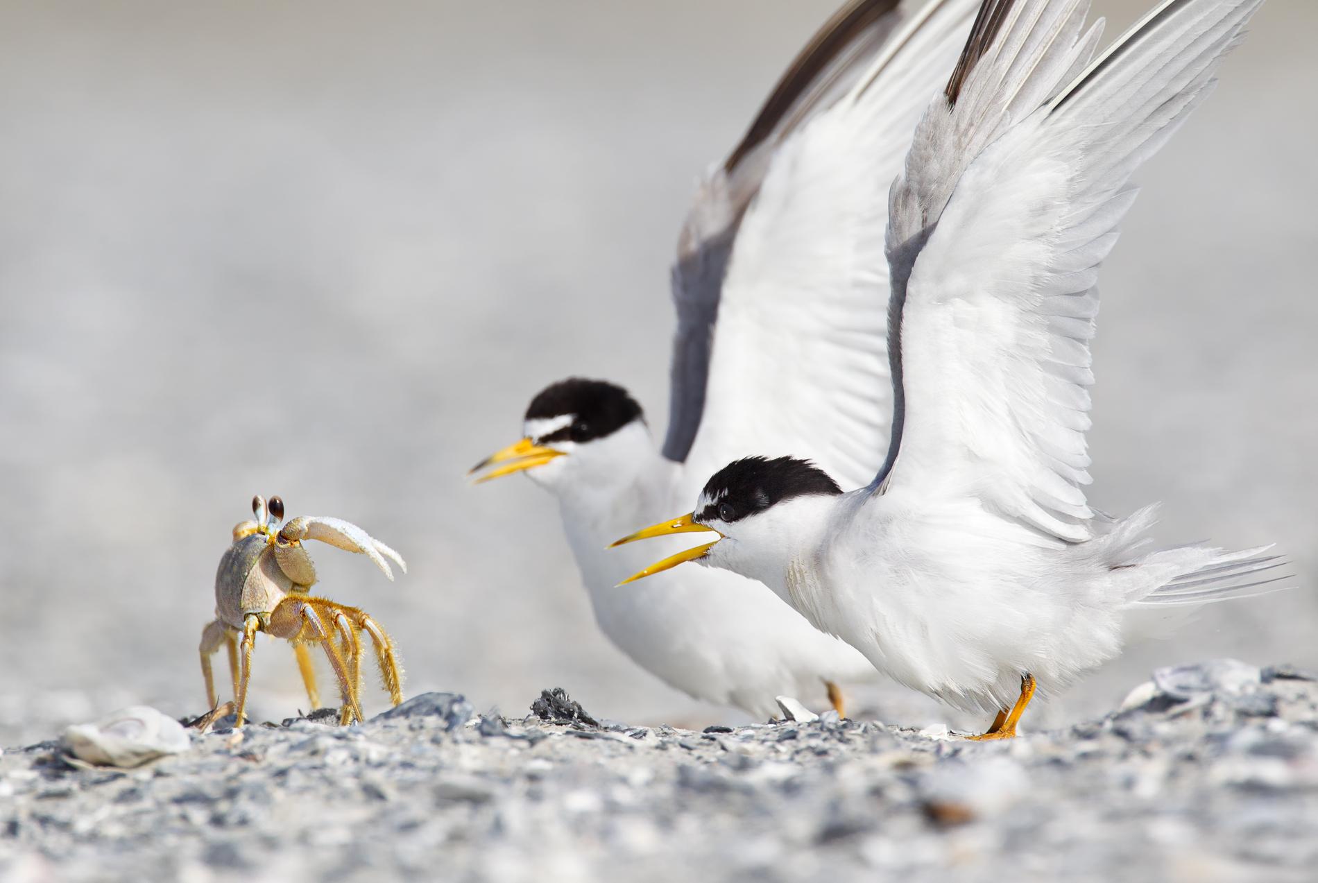 پرستوی دریایی در تلاش برای شکار خرچنگ روح + عکس