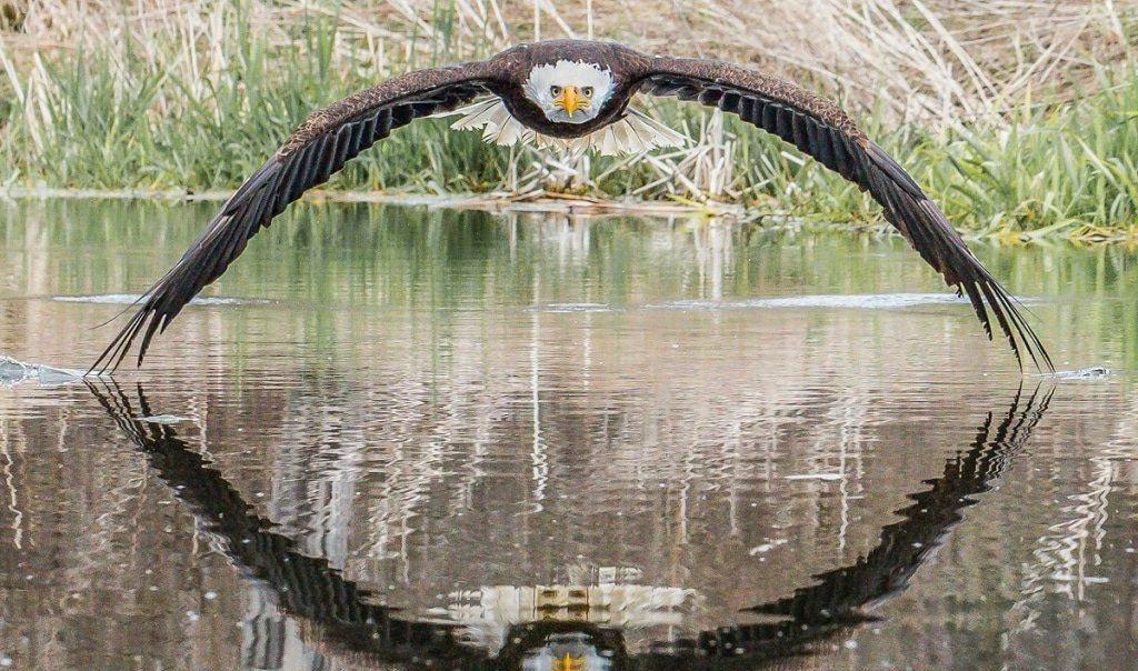 شکار لحظه ها از پرواز عقاب سر سفید + عکس