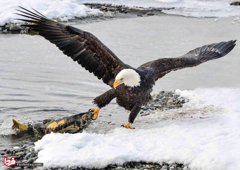 ماهی گیری عقاب در آلاسکا + عکس