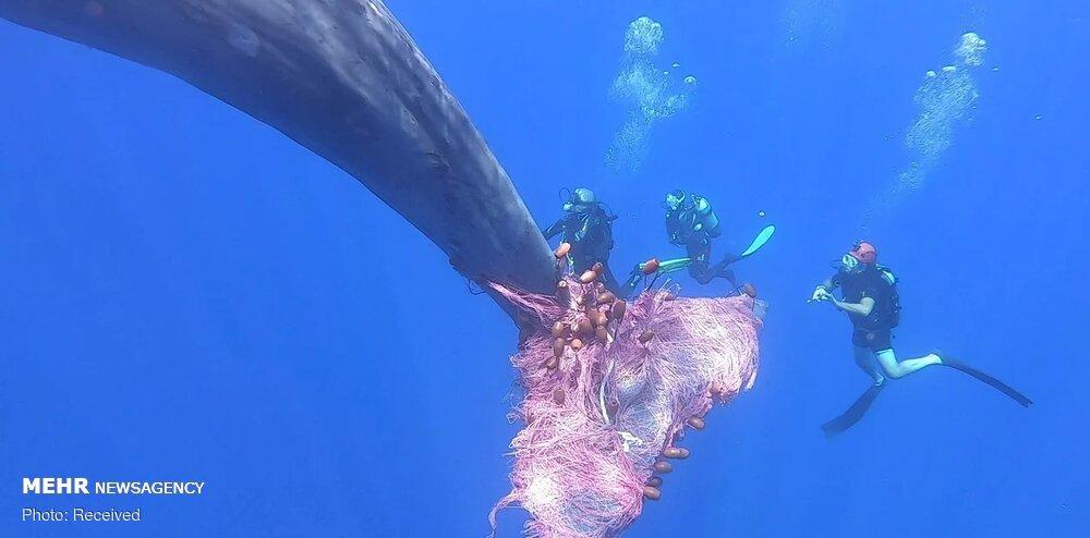 نجات نهنگ عنبر از تور ماهیگیری در سواحل ایتالیا + عکس