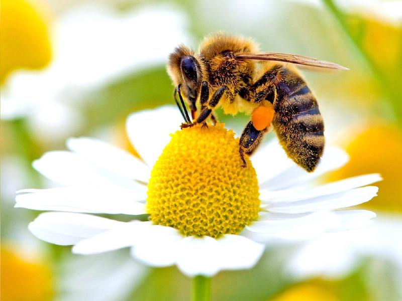 برای درمان بیماری کرونا از نیش زنبور استفاده کنیم؟
