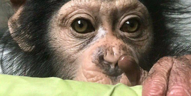 آیا تنها بچه شامپانزه ایران از قفس رهایی می یابد؟