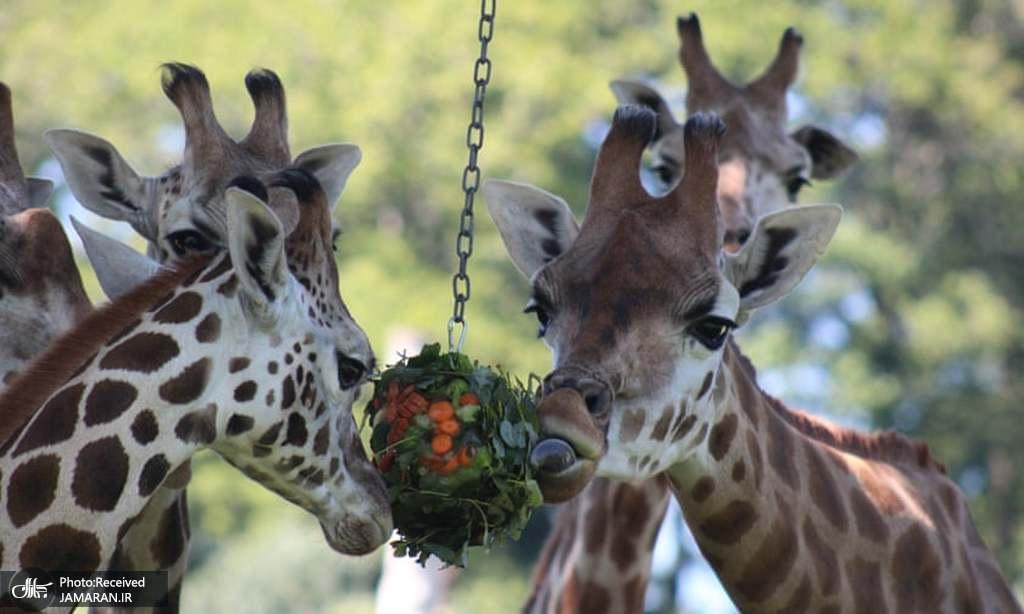 تغذیه حیوانات با میوه های یخ زده + عکس