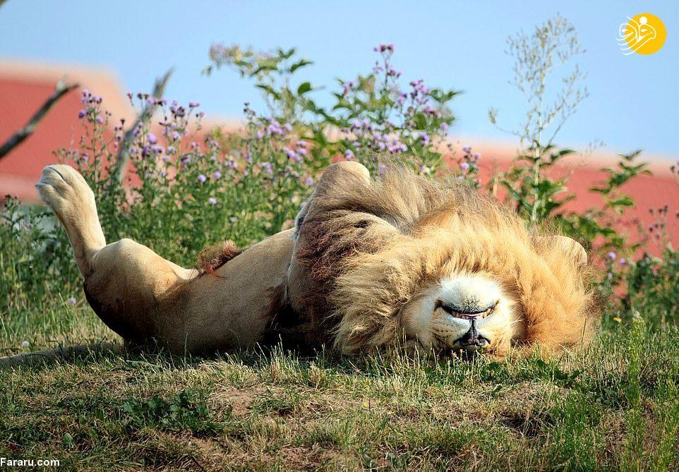 طاق باز خوابیدن سلطان جنگل! + عکس