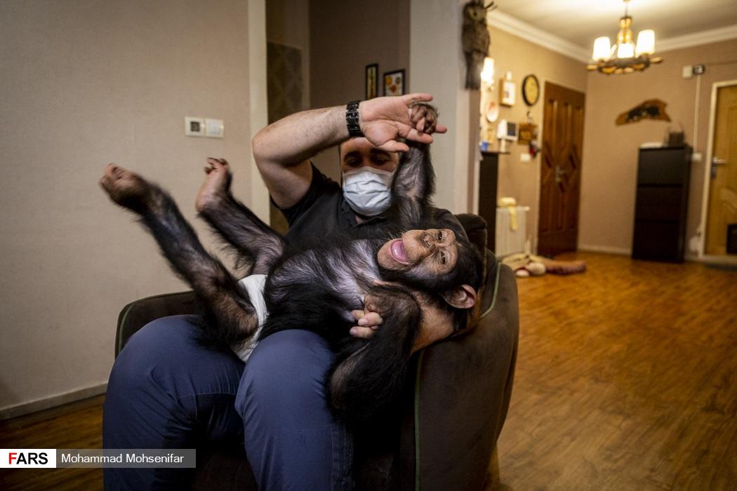 باران تنها بچه شامپانزه ایران + عکس